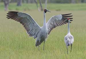 Photo by Tony Ashton of an Australian brolga dancing, illustrated in Peter Taylor's book 'Once a Creepy Crocodile'