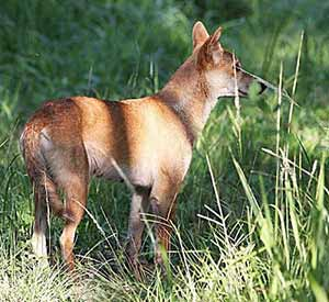 Photo of an Australian dingo which is illustrated in Peter Taylor's book 'Once a Creepy Crocodile', photo by Tony Ashton.