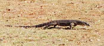 Photo of an Australian Goanna which is illustrated in Peter Taylor's book 'Once a Creepy Crocodile', photo by Fay Dent.